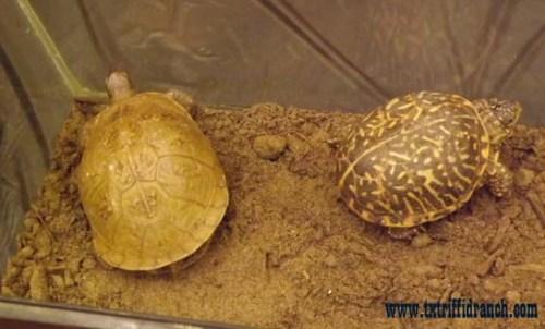 Three-toed and ornate box turtles