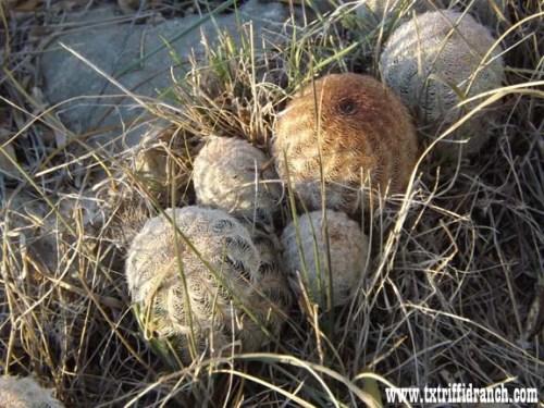 Bunch cactus