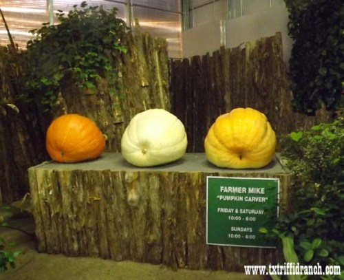 Greenhouse pumpkins