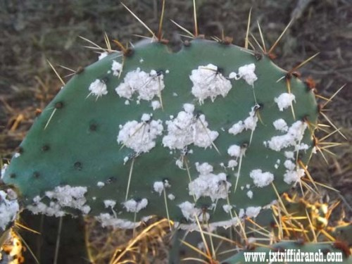 Cocineal bugs on Opuntia