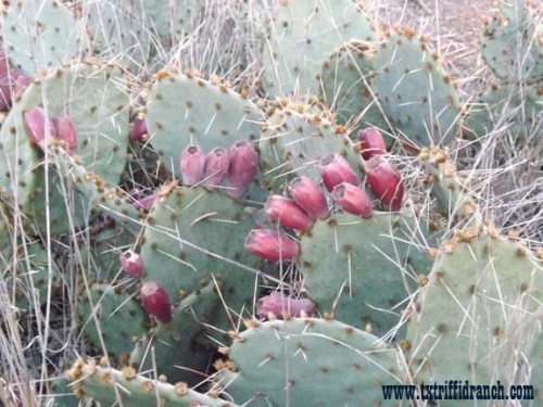 Opuntia with fruit