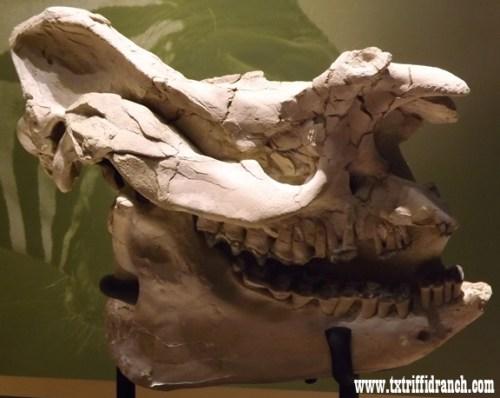 Titanothere skull