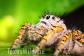 Phidippus Mystaceus, Jumping spider, Wtamu