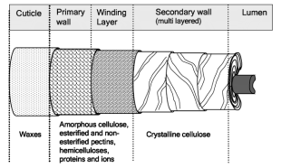 structure of cotton fiber
