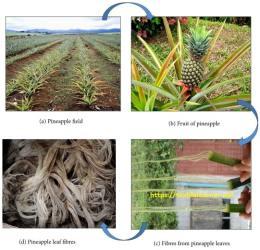 Pineapple Leaf Fibre production