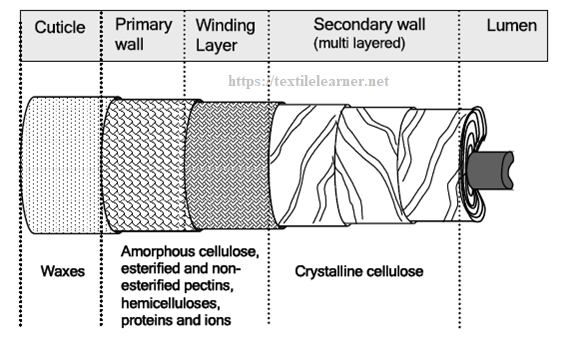 A schematic representation of mature cotton fiber showing its various layers