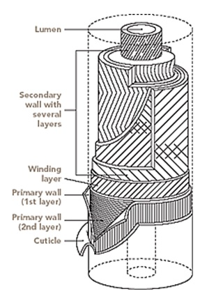 A schematic representation of cotton fibre showing its various layers.