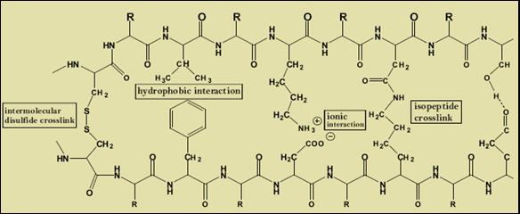 hydrophilic groups in the side chains of the keratin molecule