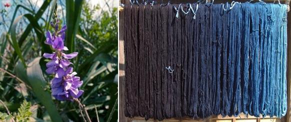 Indigo plant and indigo dyed hanks