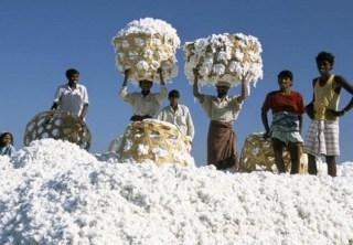Raw cotton fibers