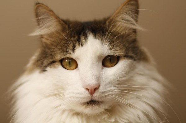 Блошиный дерматит у кошки: описание, причины, симптомы и особенности лечения