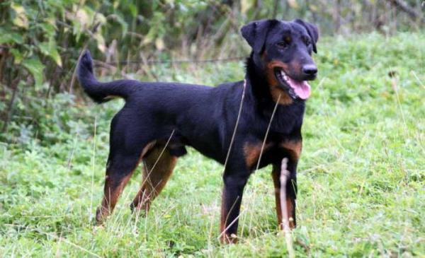 Породы норных собак: такса, ягдтерьер, йоркширский терьер. Описание, характеристики, дрессировка