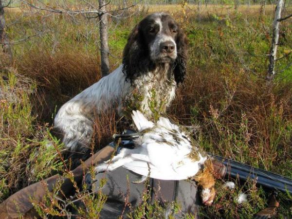 Русский охотничий спаниель: дрессировка, фото, отзывы