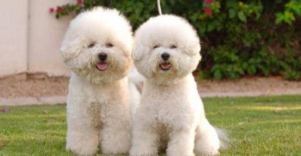 Самые спокойные породы собак: список, фото и описание