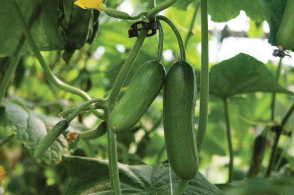 Как увеличить урожай огурцов в открытом грунте и в теплице?