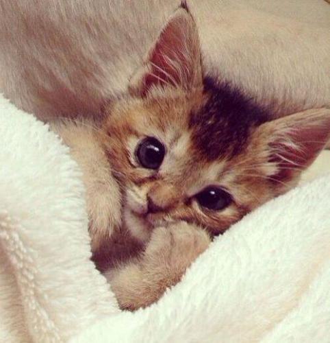 Советы владельцам котят - можно ли кормить котенка взрослым кормом?