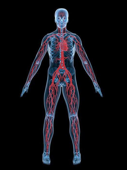 У кого впервые появилась кровеносная система?