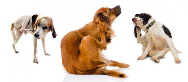 Почему чешется собака, если нет блох: причины