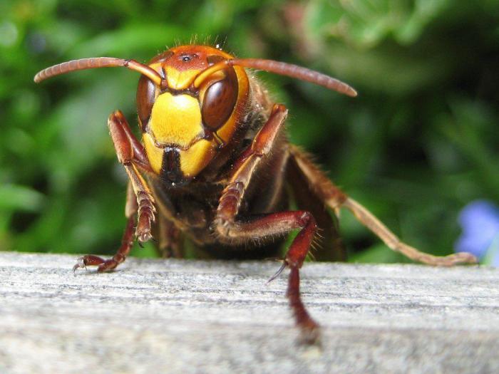 Ученые создали в лаборатории ос-мутантов с красными глазами
