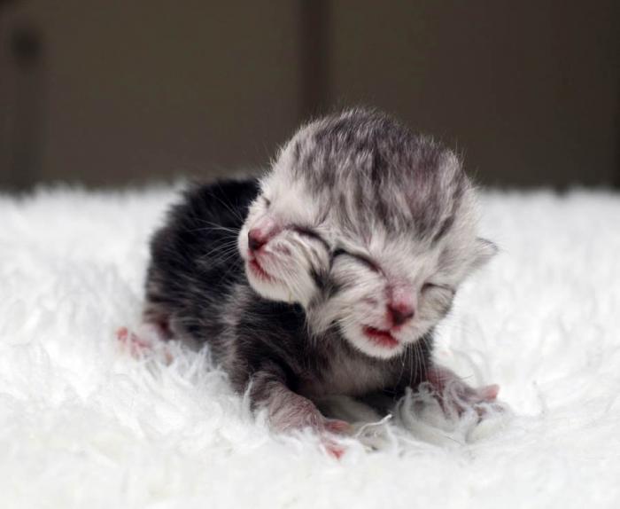 В Китае родился котенок с двумя головами