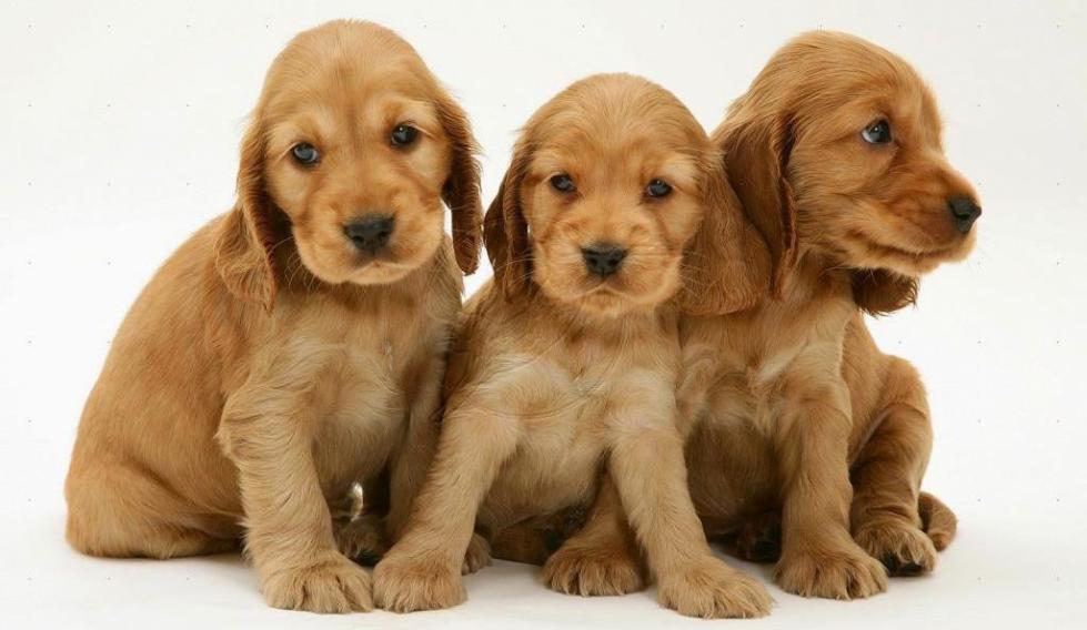 Дрессировка охотничьих собак в домашних условиях