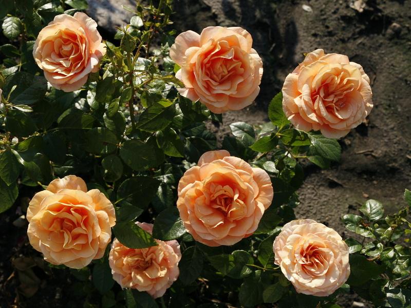 бенгальская роза домашняя