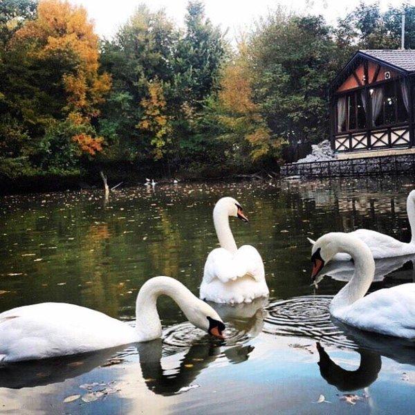 Прекрасные лебеди.