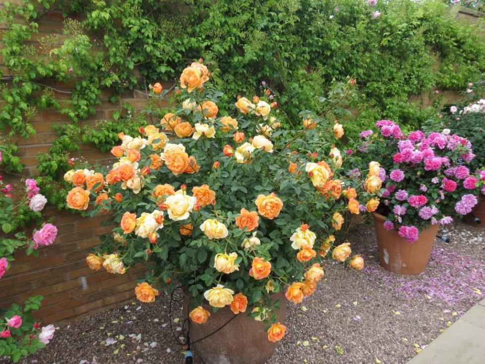 бенгальская роза комнатная, уход