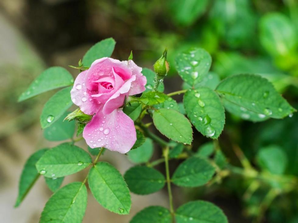 роза бенгальская в летний период