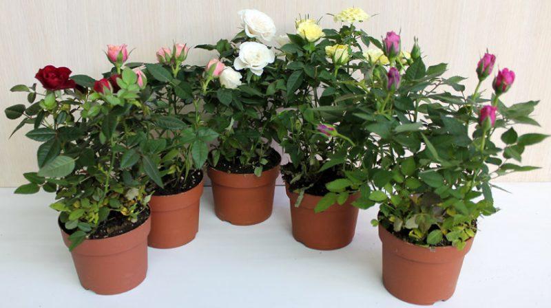 бенгальские розы для выращивания в комнатных условиях