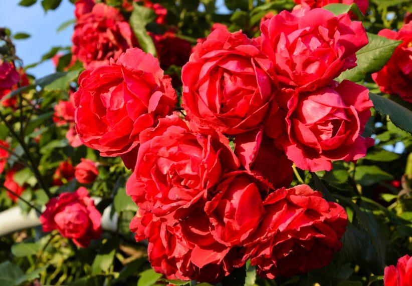 цветение розы Кордес
