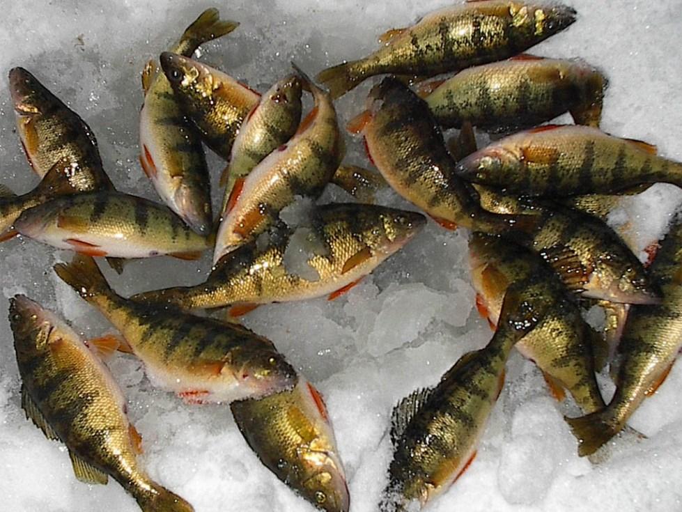 пресноводная рыба для первого прикорма ребенка