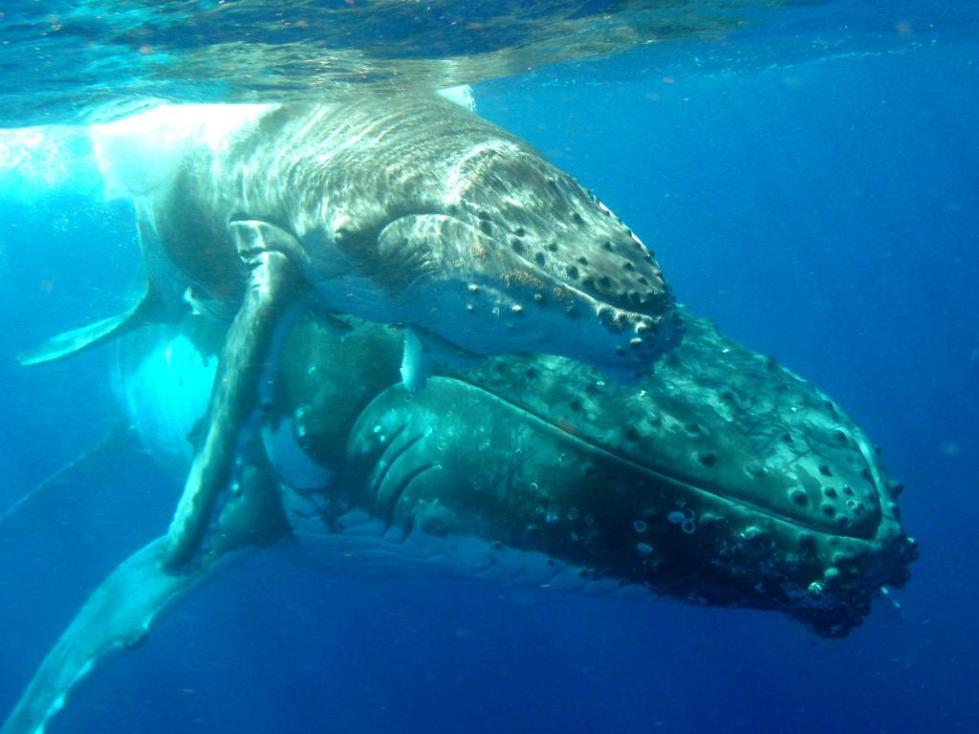 спаривание китов