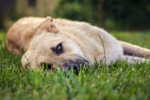 анализ на дирофиляриоз у собак