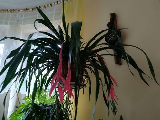 цветок бильбергия уход в домашних условиях