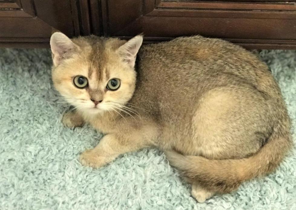 Прямоухая кошка