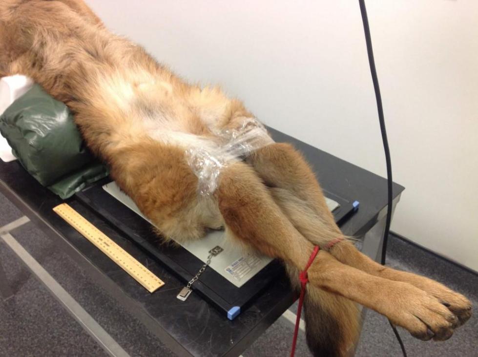 степени дисплазии локтевого сустава у собак