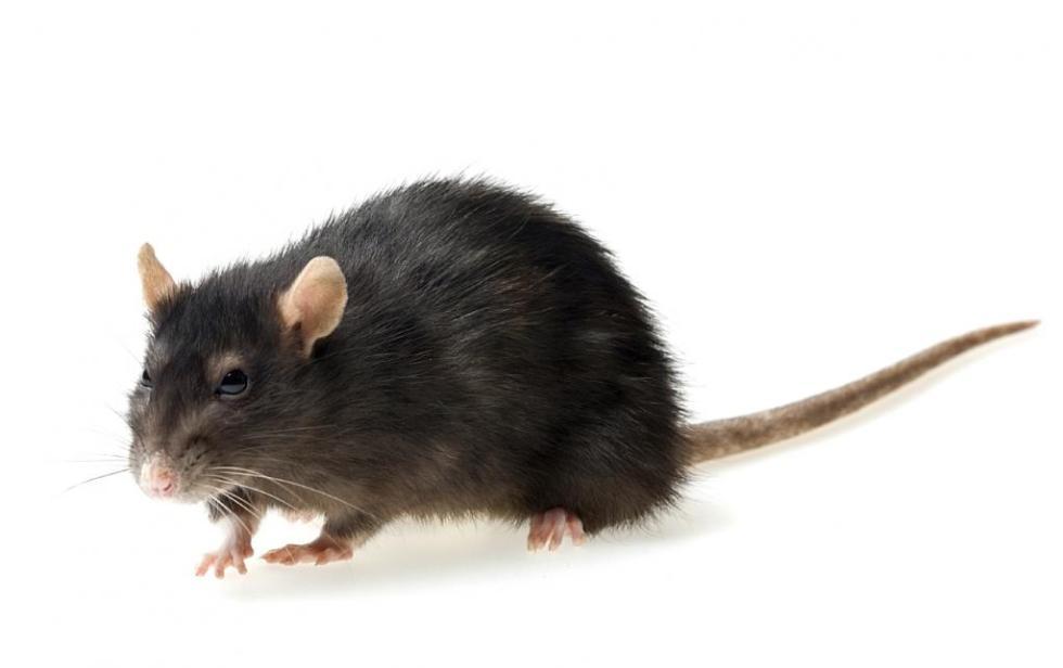 Животное крыса