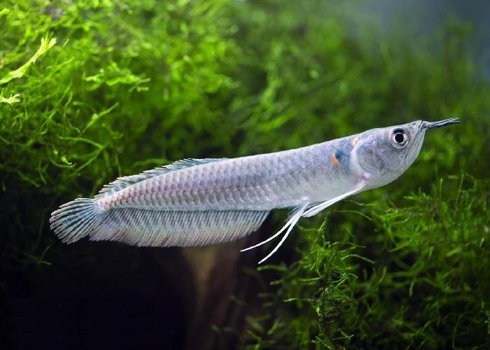 рыба аравана