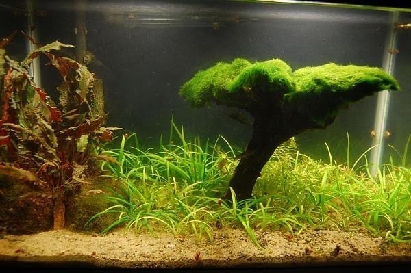 Декор из кладофоры в аквариуме