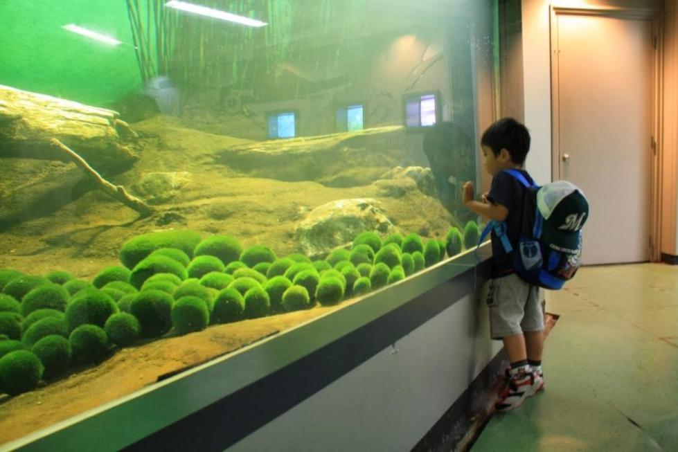 Размещение кладофоры шаровидной в аквариуме
