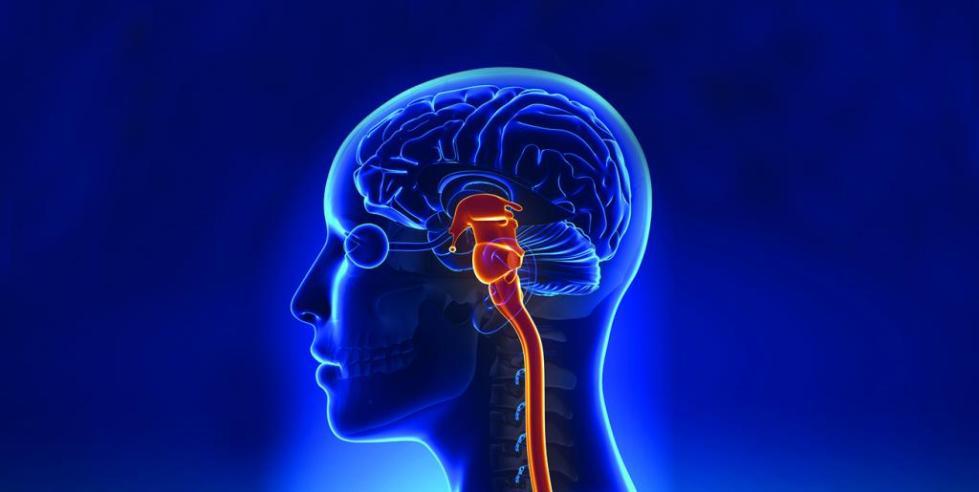 Местонахождение продолговатого мозга