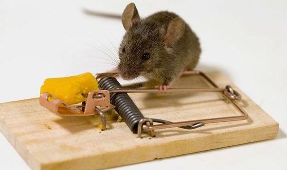 капканы на крыс виды