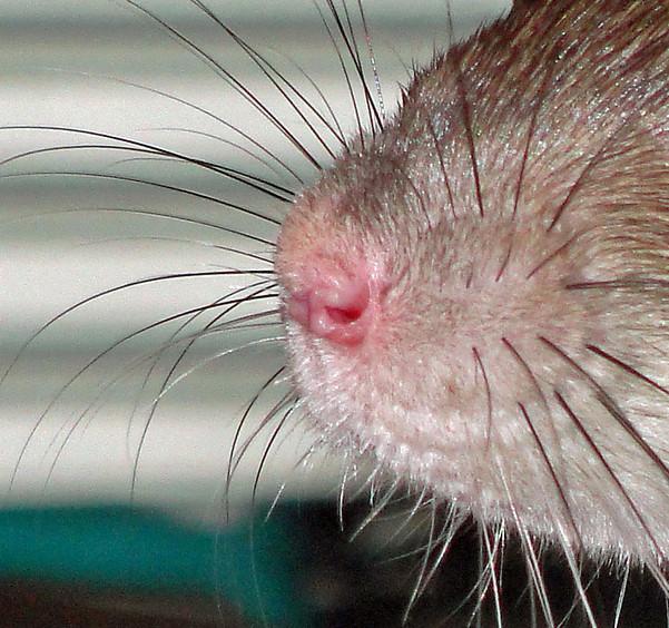 уход за больной крысой