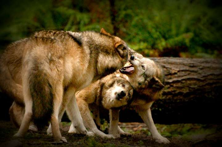 Пара волков против волка