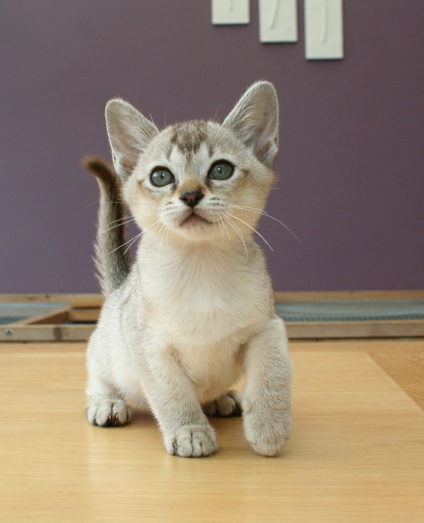 Котенок азиатской кошки