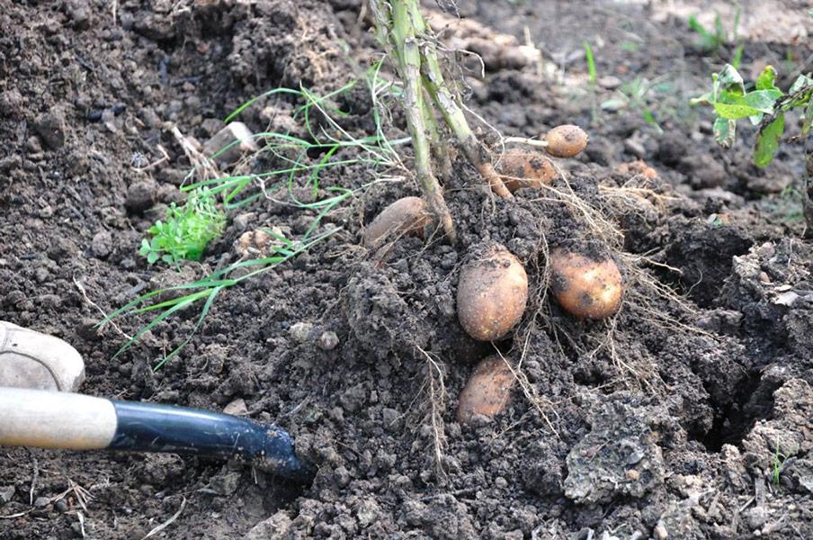 Картофель сорт Лорх описание