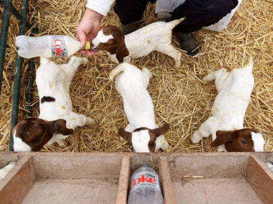 Родившиеся козлята