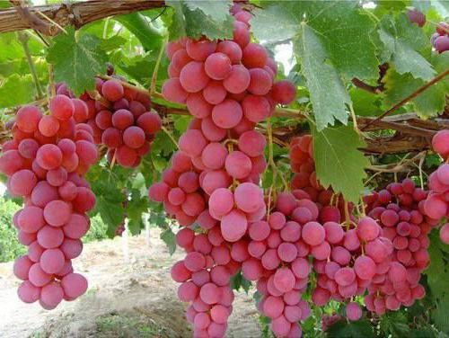 "Виноград""Дашуня"""