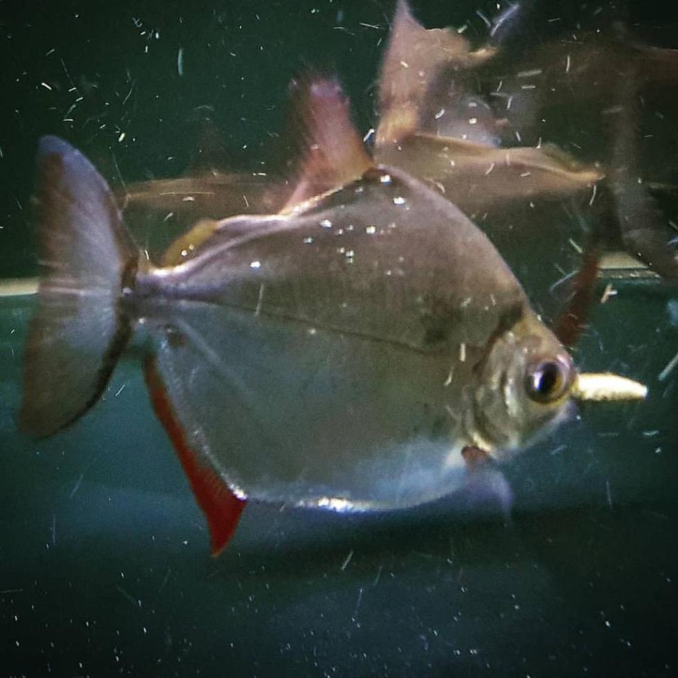 Рыба Метиннис